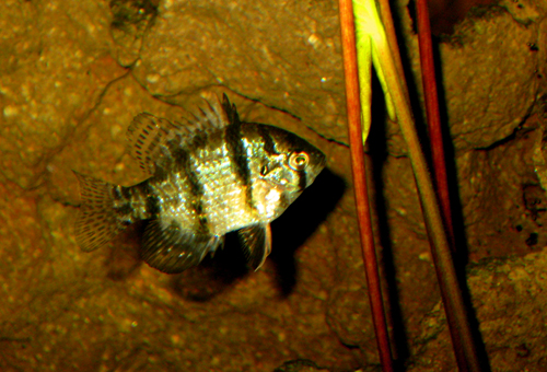 black banded sunfish