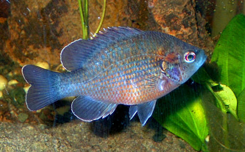 redspotted sunfish